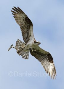 Osprey fixing his next on the Northumberland Coast, NB.