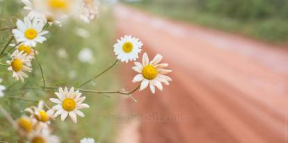 Daisies on a red dirt road in PEI.