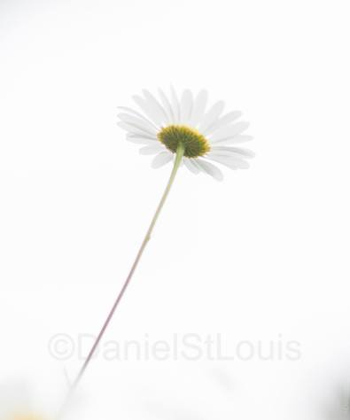 Daisy on white background from low angle.