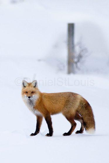 Fox in the winter.