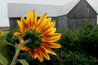 Sunflower in Scoudouc NB