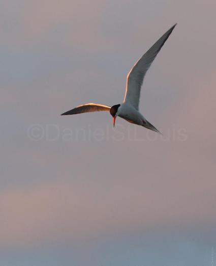 Flying bird on the shores of Grand-Barachois NB.