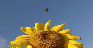 Bee on sunflower in Annapolis Valley, Nova Scotia.