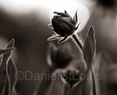 Flower in field, Grand Barachois NB