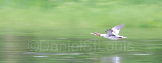 Bird flyer of the Restigouche River, NB.