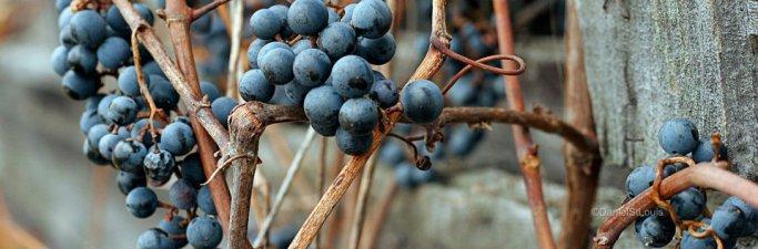 Blueberries on vine.