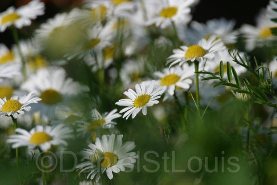 Close-up of daisies in green field.