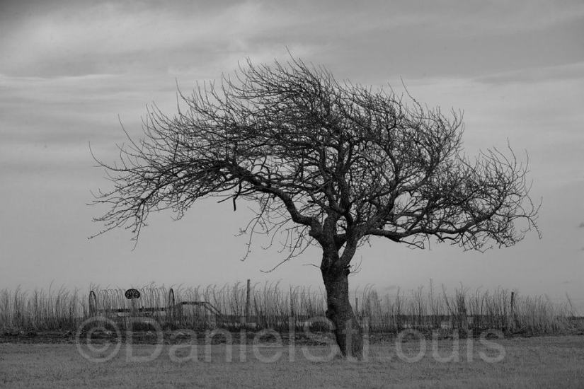 Black and white tree in Albert County NB.