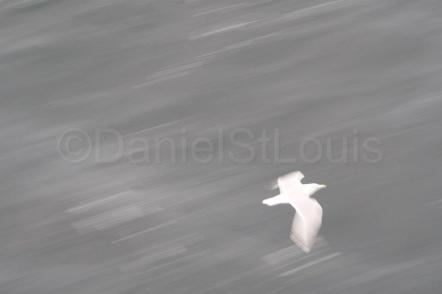 Bird in flight in Vancouver Island, BC, on the Spirit of Vancouver Island Ferry.