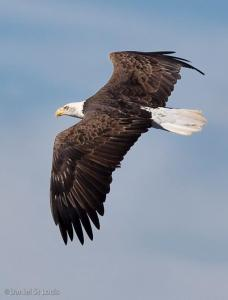 Bald eagle in flight in Grand Barachois, NB.