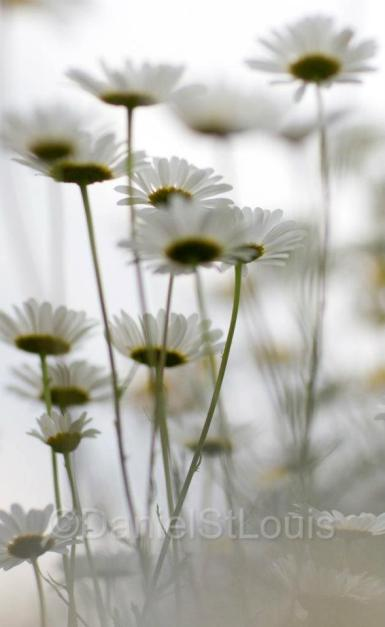 Daisies from underneath.