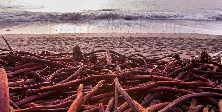 Pacific coast seaweed at Sombrio Beach, BC.