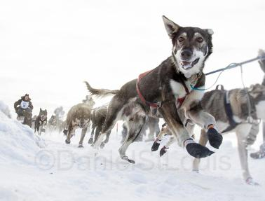 The Yukon Quest