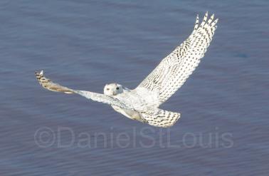 Snowy owl at Confederation Bridge PEI.