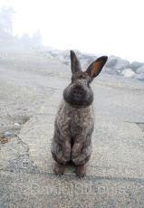 Rabbit at White Point Beach Resort.